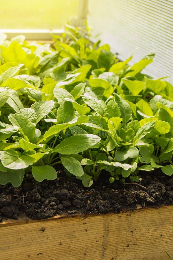 Regels om vroege radijzen in een serre te kweken Bedden van sappige jonge radijs voor groter gebruik van vitaminen, verticaal sch stock foto
