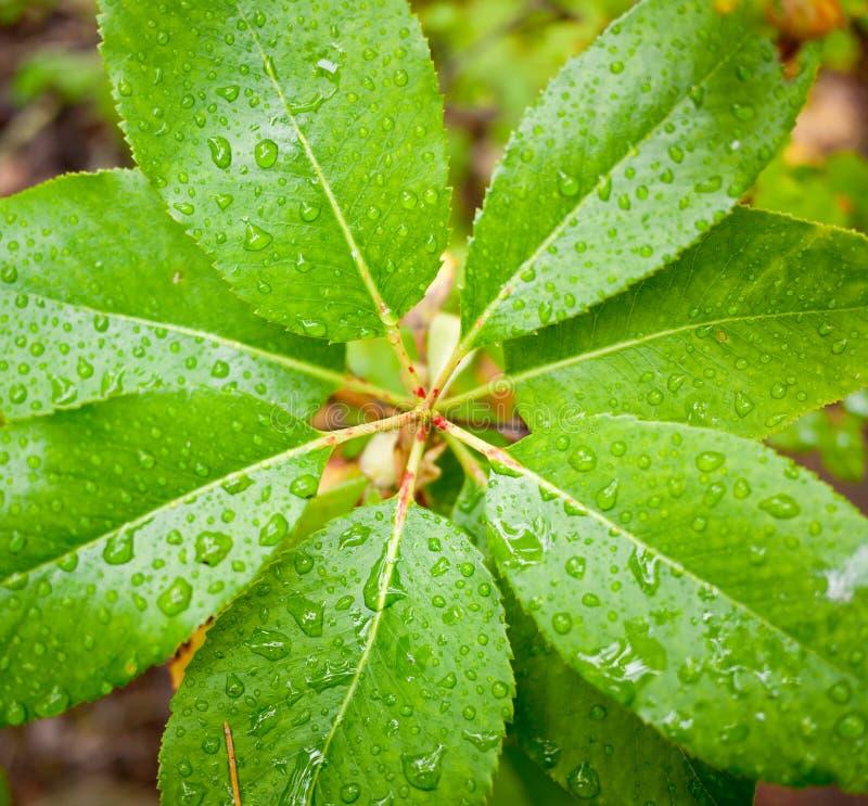 Regen Auf Blättern Stockfoto