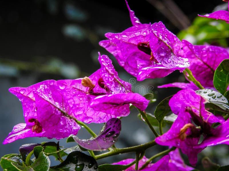 Regen Doorweekte Bougainvillea stock afbeelding
