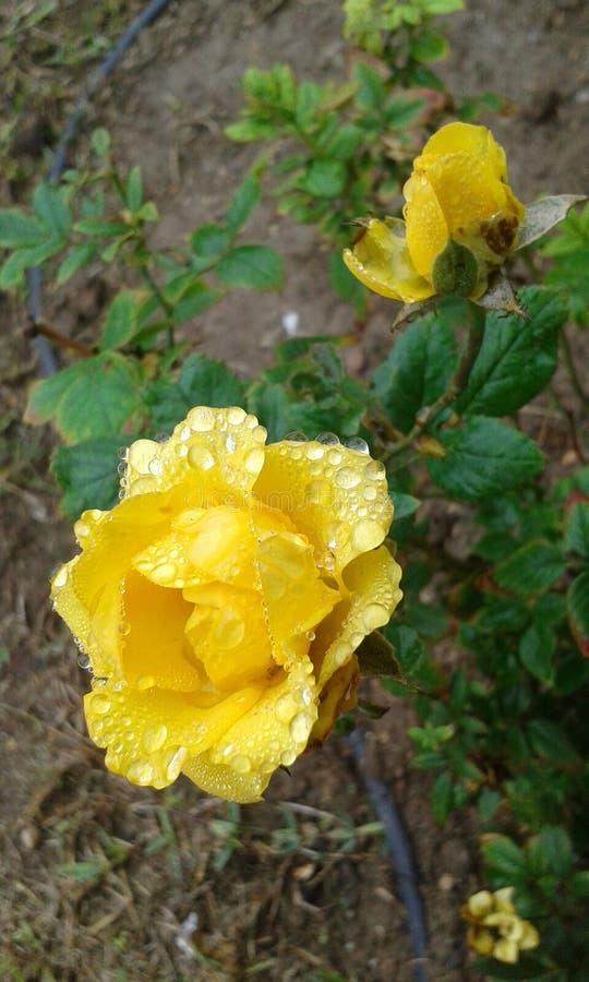 Regen-gekuste Geel nam toe royalty-vrije stock fotografie