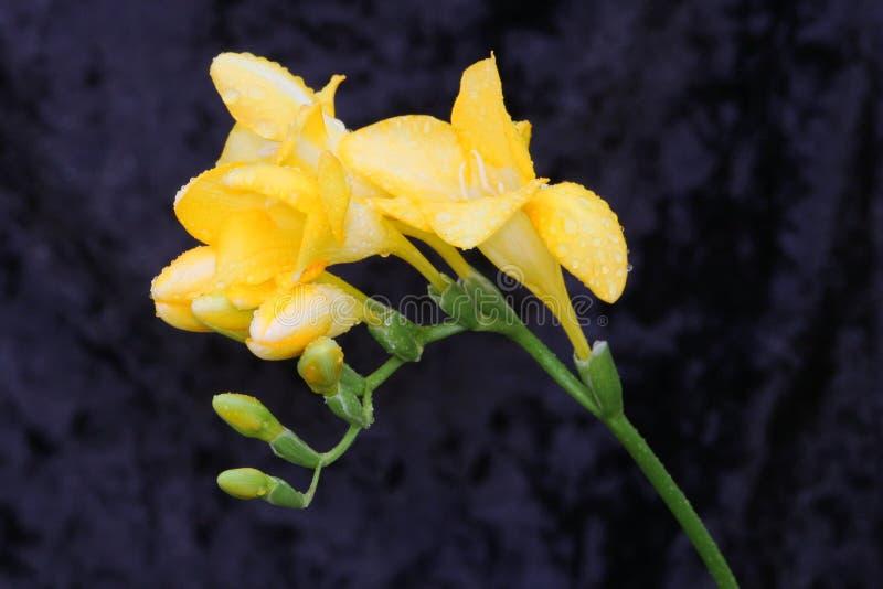 Regen getränkte gelbe Fresia Blume stockfotos