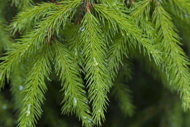 Regen im Nadelwald Fichtenholz mit Regentropfen lizenzfreie stockbilder