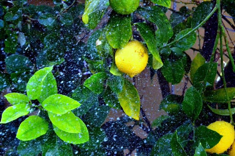 Regenachtige citroen royalty-vrije stock afbeelding