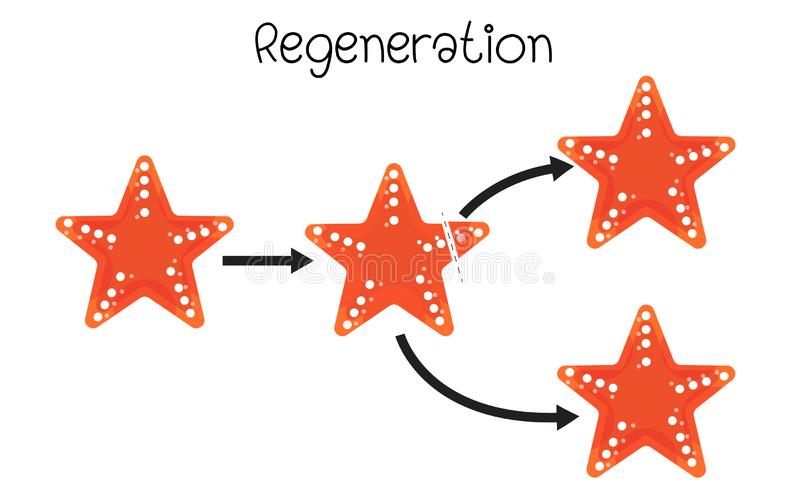 Regenaration in stelle marine illustrazione vettoriale
