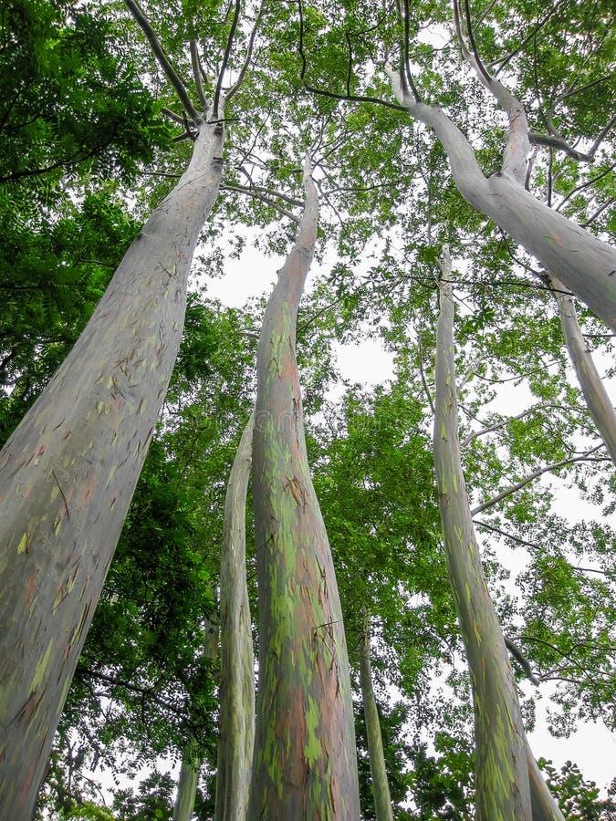 regenbogen eukalyptus der bunteste baum in der welt. Black Bedroom Furniture Sets. Home Design Ideas
