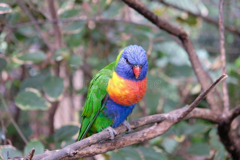 Regenbogen lorikeet auf Baumast stockbilder