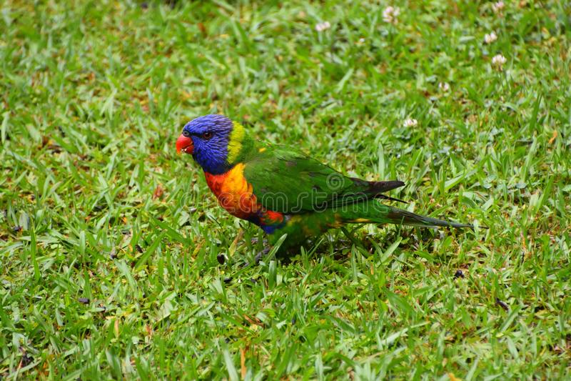 Regenbogen Lorikeet auf Gras lizenzfreie stockfotos
