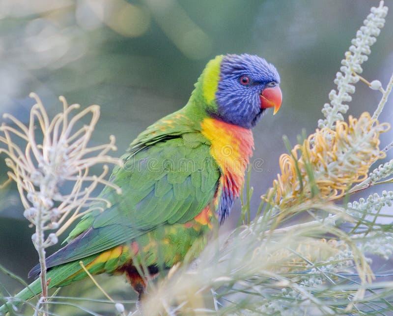Regenbogen Lorikeet - Gold Coast Australien lizenzfreie stockfotografie