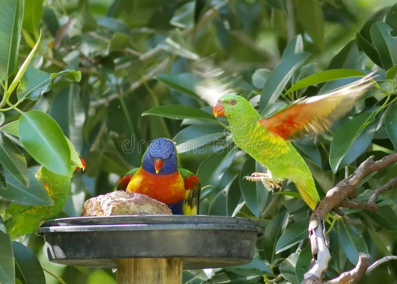 Regenbogen lorikeet linkes und scaley-breasted lorikeet Recht, Fliegen stockfotos