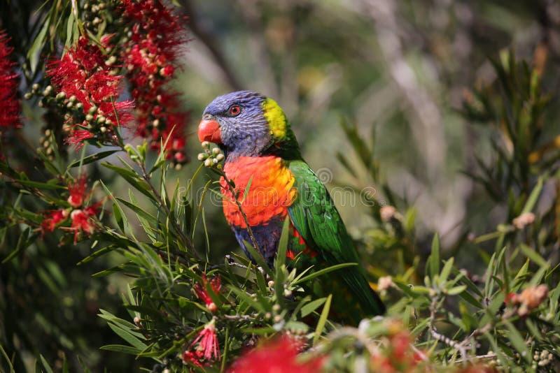Regenbogen lorikeet und der Bottlebrush stockfotografie