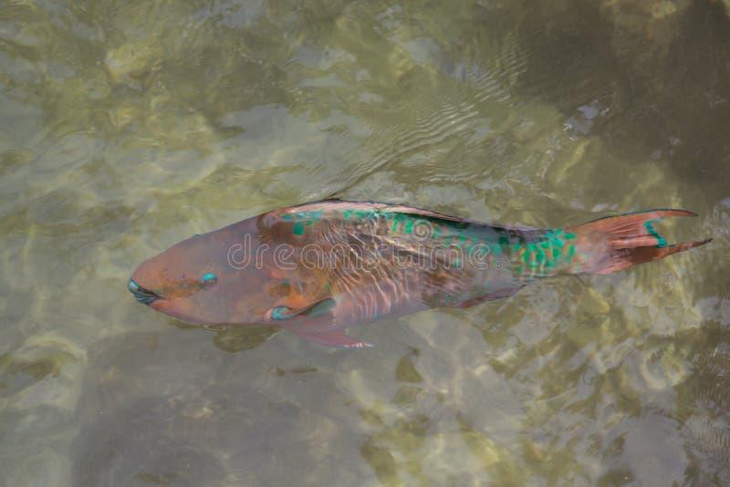 Regenbogen-Papageienfisch stockfoto
