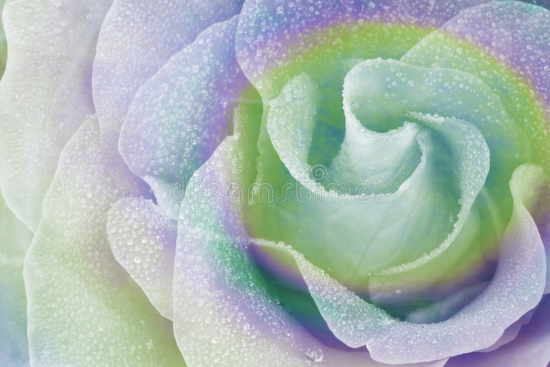 Regenbogen Rose 2 stockfotografie