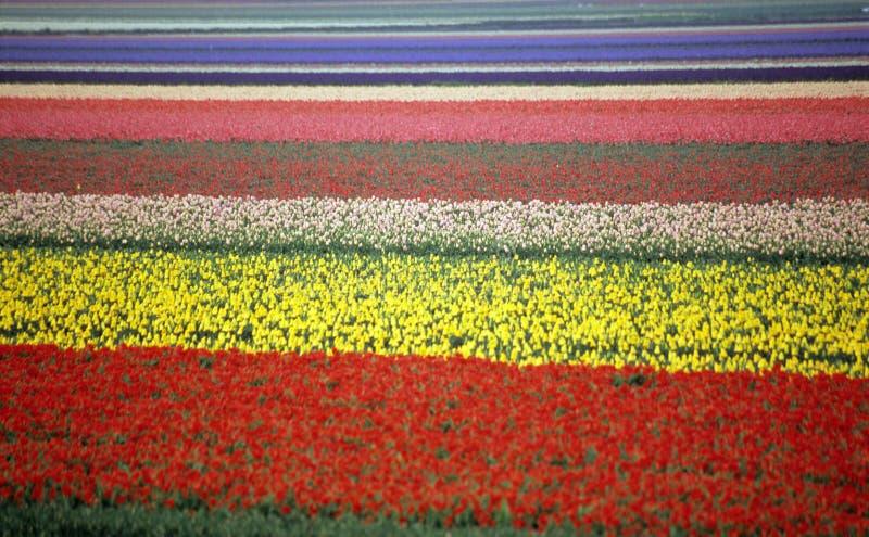 Regenbogen-Tulpe-Feld stockfotos