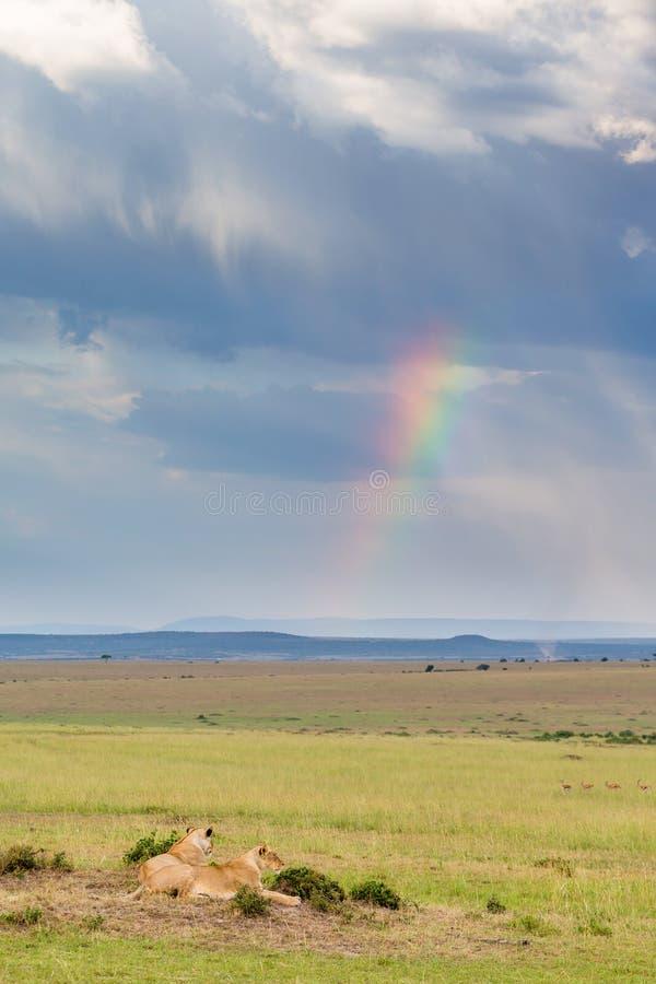 Regenbogen und Löwen stockfoto
