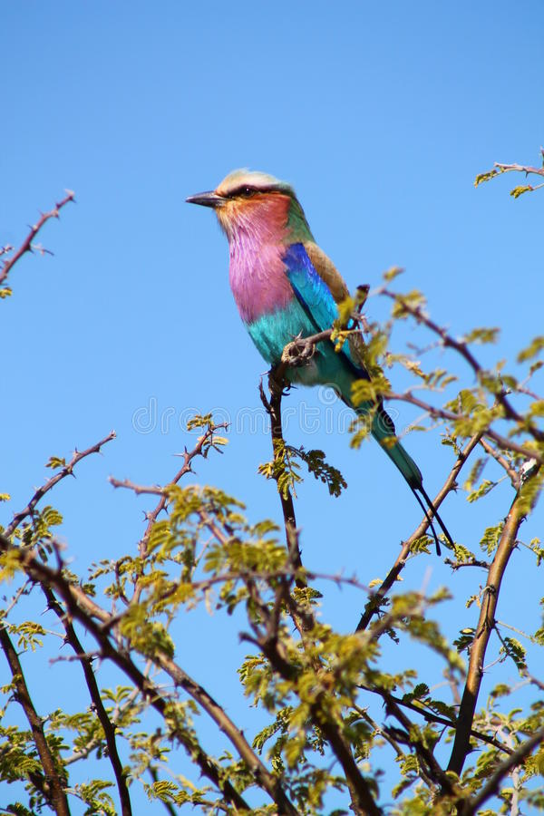 Regenbogen-Vogel stockfoto