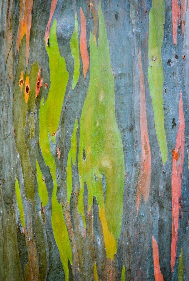 Regenbogeneukalyptus-Baumrinde lizenzfreie stockfotografie
