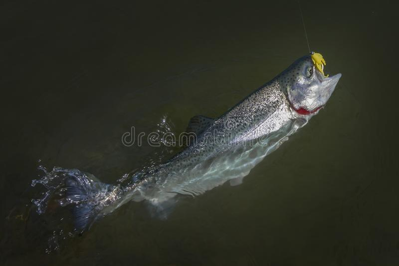 Regenbogenforelle-Lachsfische gefangen im Wasser Bereichsfischenhintergrund lizenzfreie stockfotografie