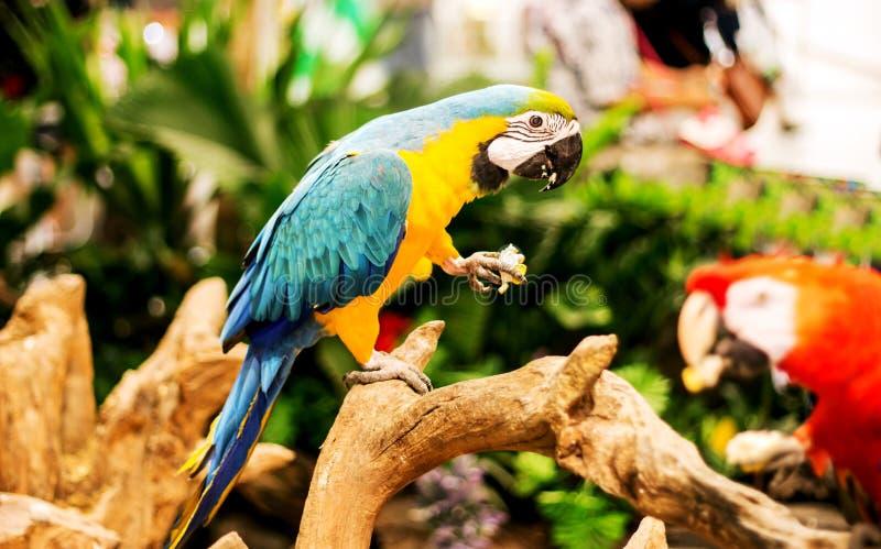 Regenbogenpapagei essen Mais auf Holz des Zoos stockbilder