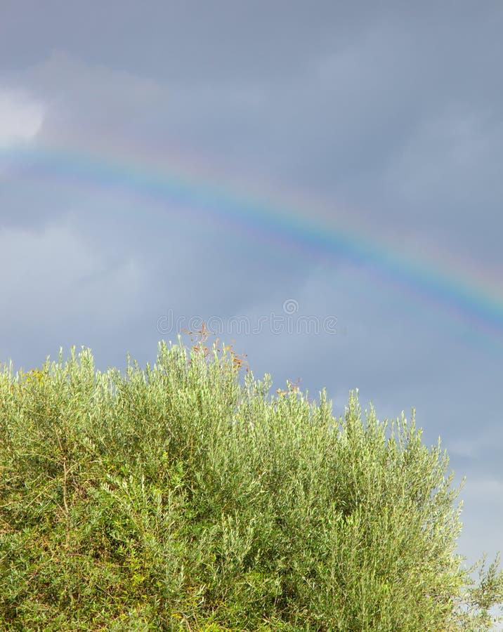 Regenboog colive boom stock fotografie
