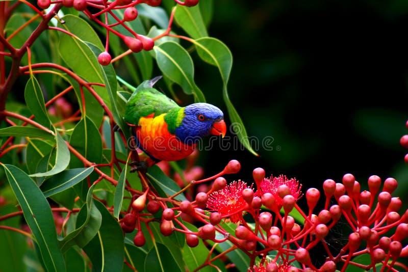 Regenboog lorikeet