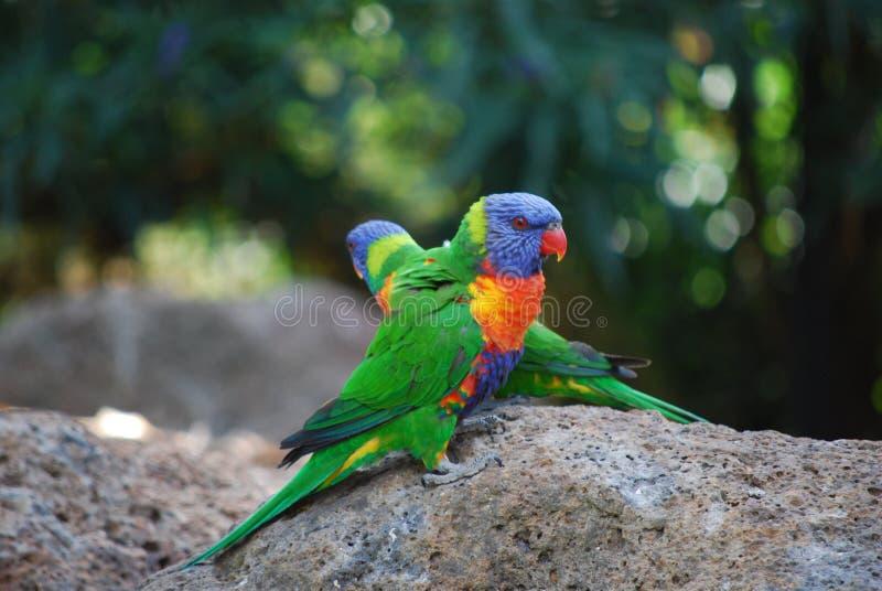 Regenboog Lorikeet stock foto