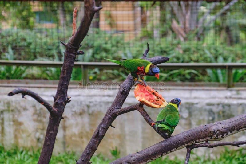 Regenboog Lorikeets die papaja eten royalty-vrije stock afbeeldingen