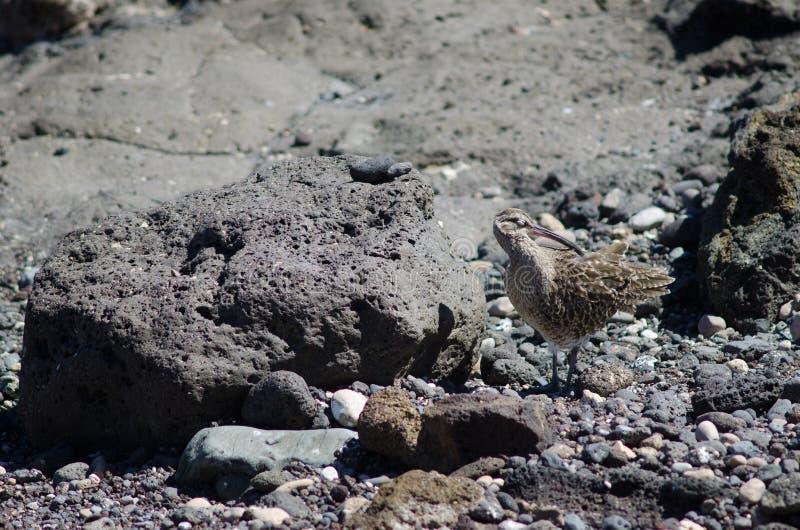 Regenbrachvogel Numenius phaeopus Putzen stockfotografie