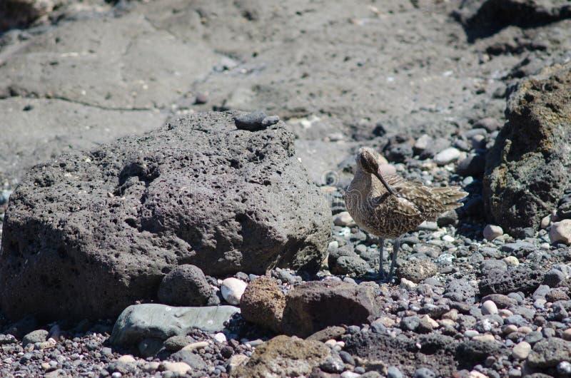 Regenbrachvogel Numenius phaeopus Putzen lizenzfreie stockfotos