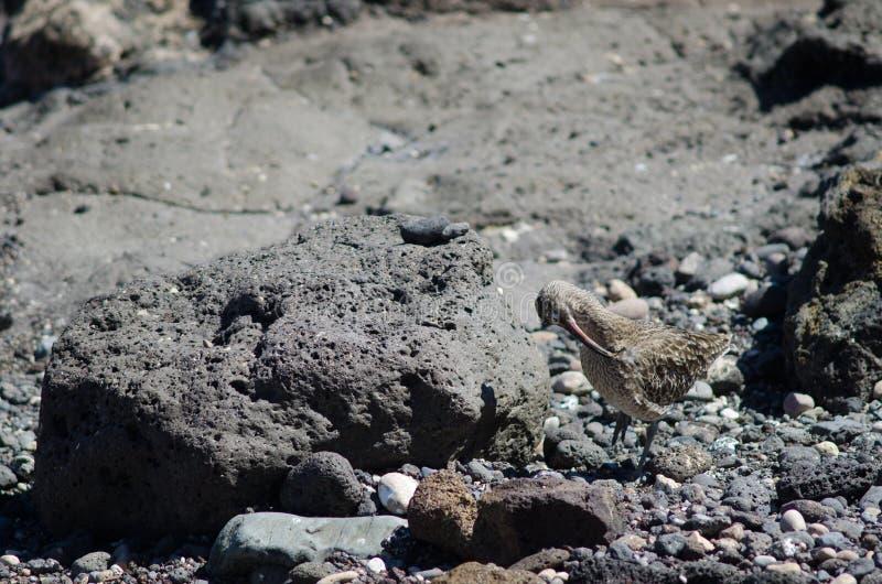 Regenbrachvogel Numenius phaeopus Putzen lizenzfreies stockfoto