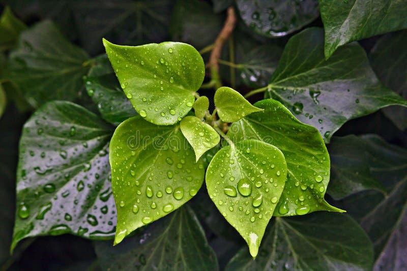 Regendalingen die op groene bladeren parelen royalty-vrije stock afbeelding