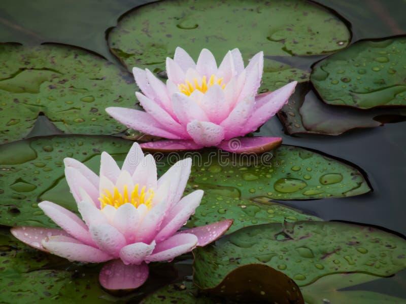 Regendalingen op de bloemblaadjes van lotuses royalty-vrije stock foto's