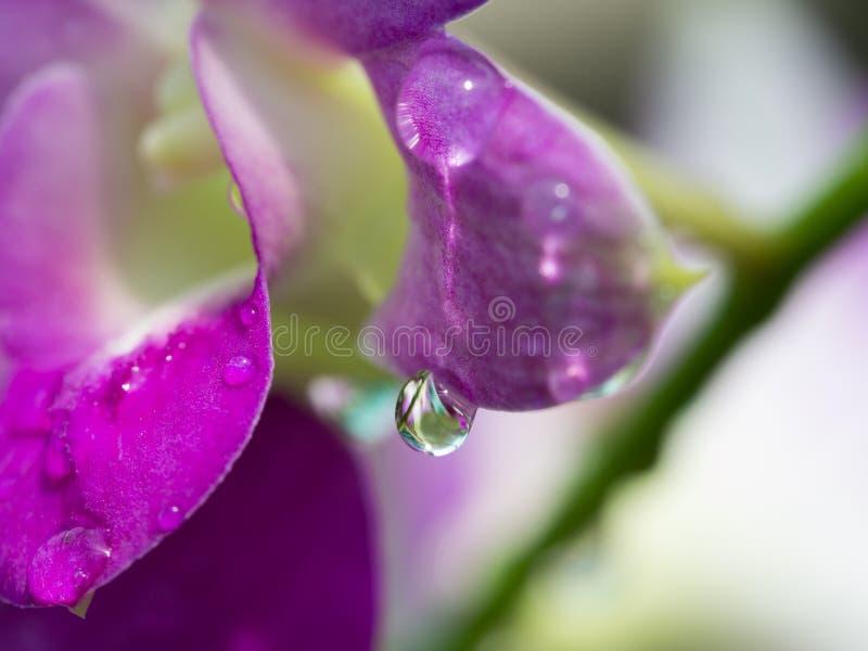 Regendruppel op Purpere Dendrobium-Orchidee royalty-vrije stock afbeeldingen