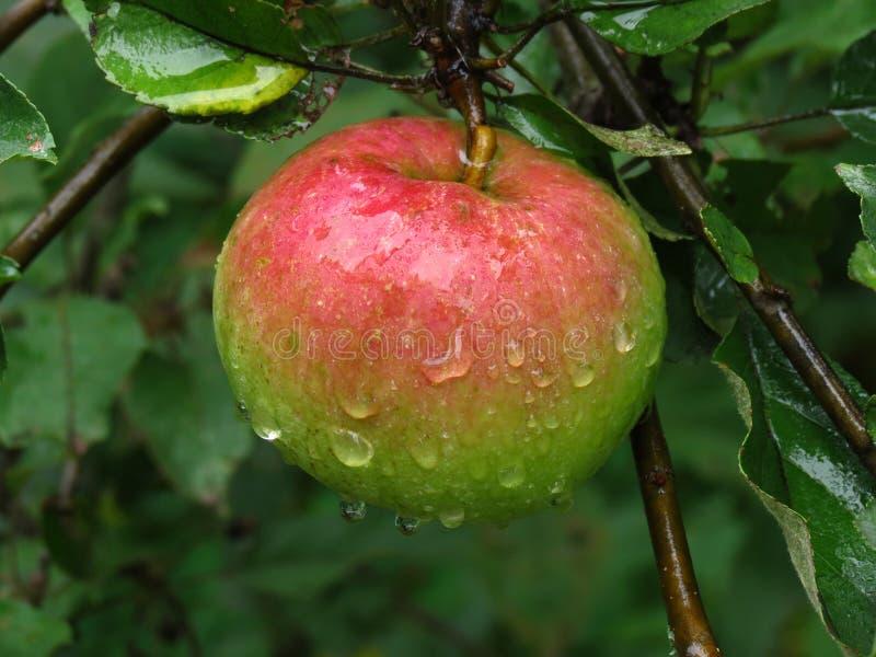 Regendruppels op appel royalty-vrije stock fotografie