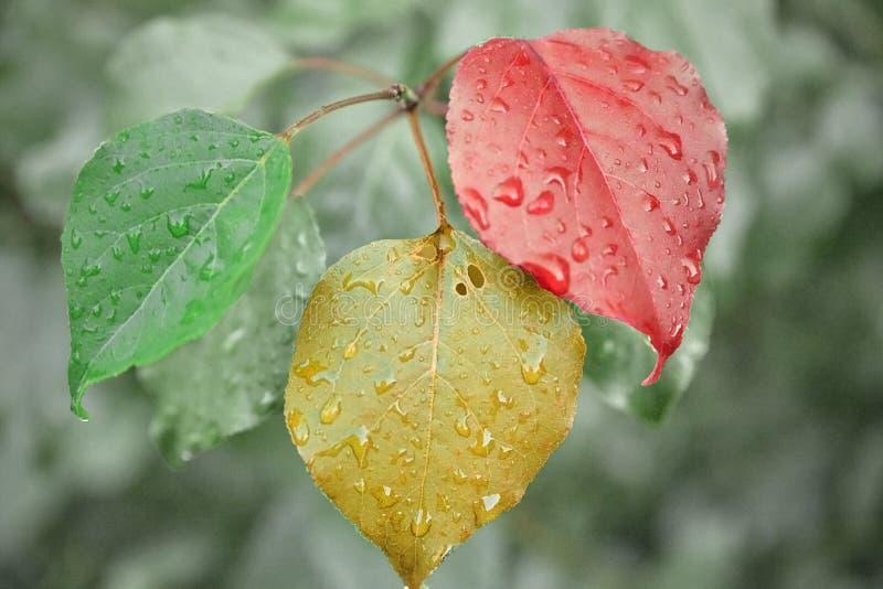 Regendruppels op de bladeren Rode, gele, groene bladeren stock afbeelding