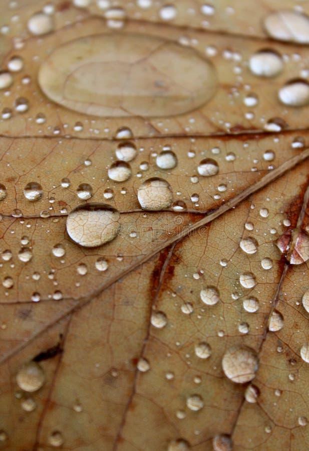 Regendruppels op de herfstbladeren stock fotografie
