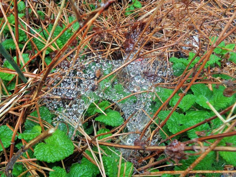 Regendruppels op een Spiderweb over Pijnboomnaalden en citroen-Balsem Melissa officinalis stock foto