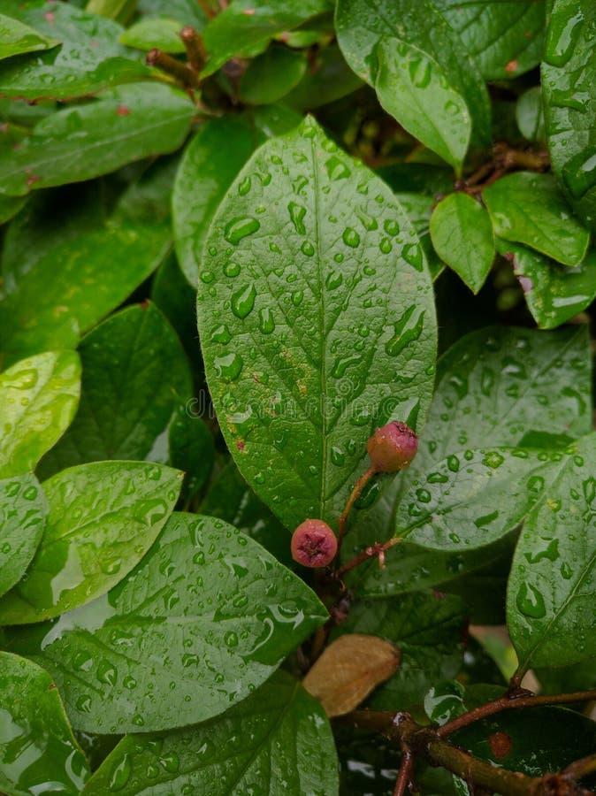 Regendruppels op groene bladeren in de zomer stock fotografie