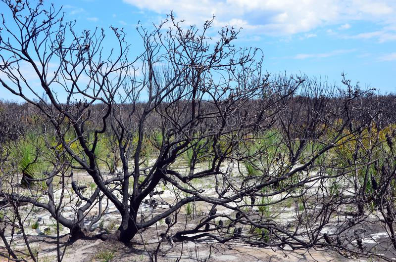 Regeneración understory del arbolado después de un bushfire fotos de archivo libres de regalías