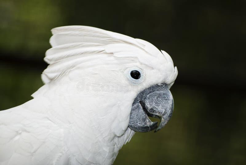 Regenschirm Cockatoo stockfotografie