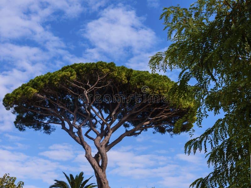 Regenschirm-Kiefer in den Gärten von La Certosa auf der Insel von Capri lizenzfreie stockfotos