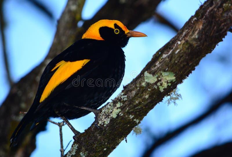 Regent bower bird male. A male regent bower bird in Queensland, Australia royalty free stock photo