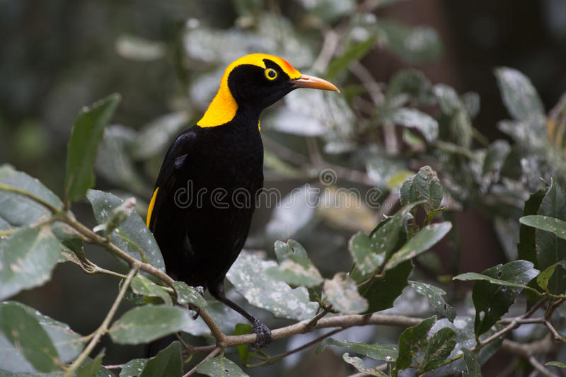 Regent's Bowerbird in leafy glade royalty free stock photos