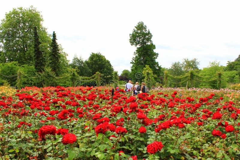 Regenter parkerar röda rosor London England arkivfoton