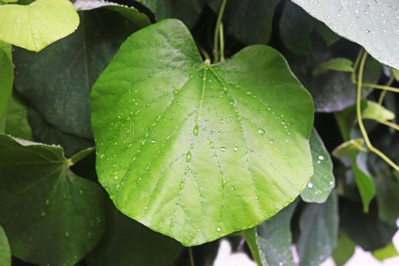 Regentropfen auf den Blättern einer Kletterpflanze lizenzfreies stockbild