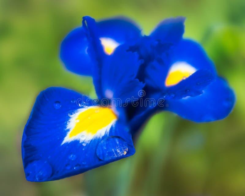 Regentropfen auf einem schönen Saphirblau und einer Blume der gelben Iris Ein großer Regentropfen hat auf dem Blumenblatt vereinb stockbild