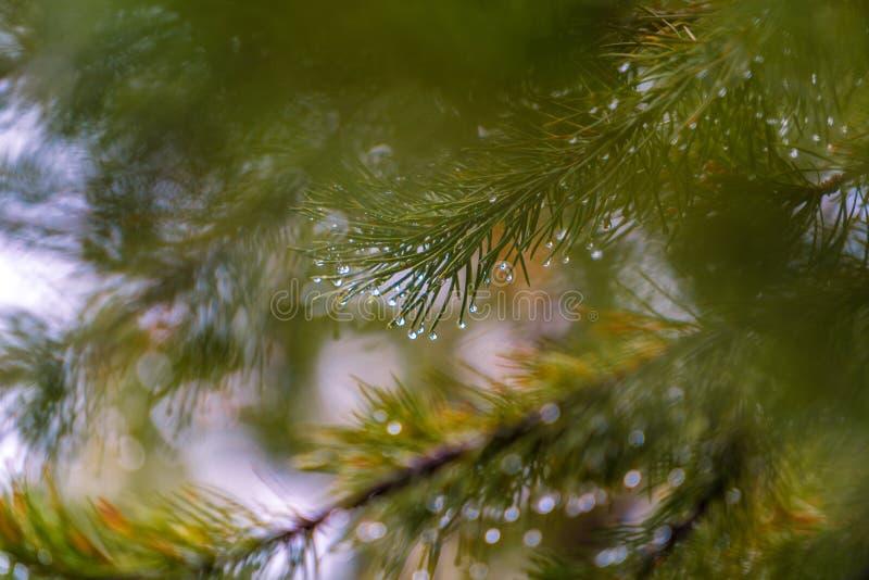 Regentropfen auf grüner Niederlassungskiefer mit unscharfem Fokus für Naturhintergrund lizenzfreies stockbild