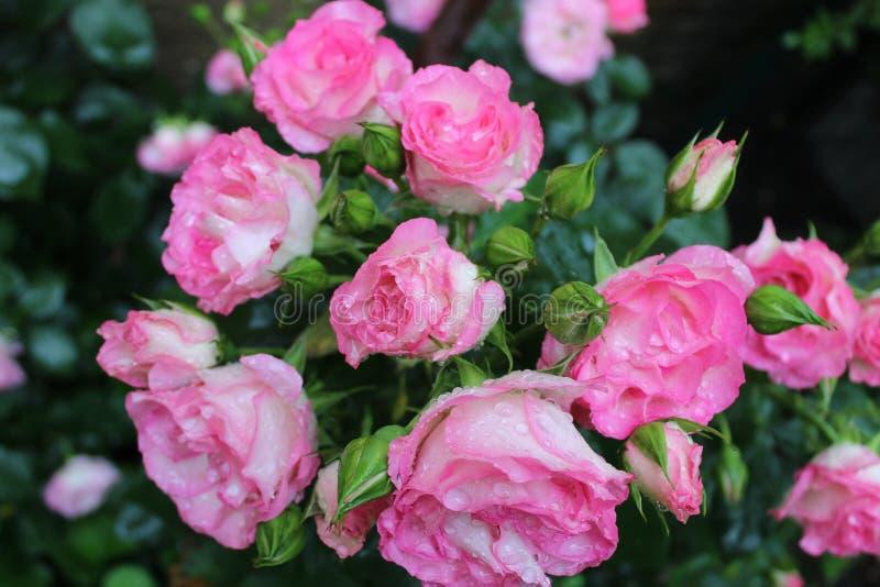 Regentropfen auf rosafarbenen Blumenbl?ttern lizenzfreie stockfotos