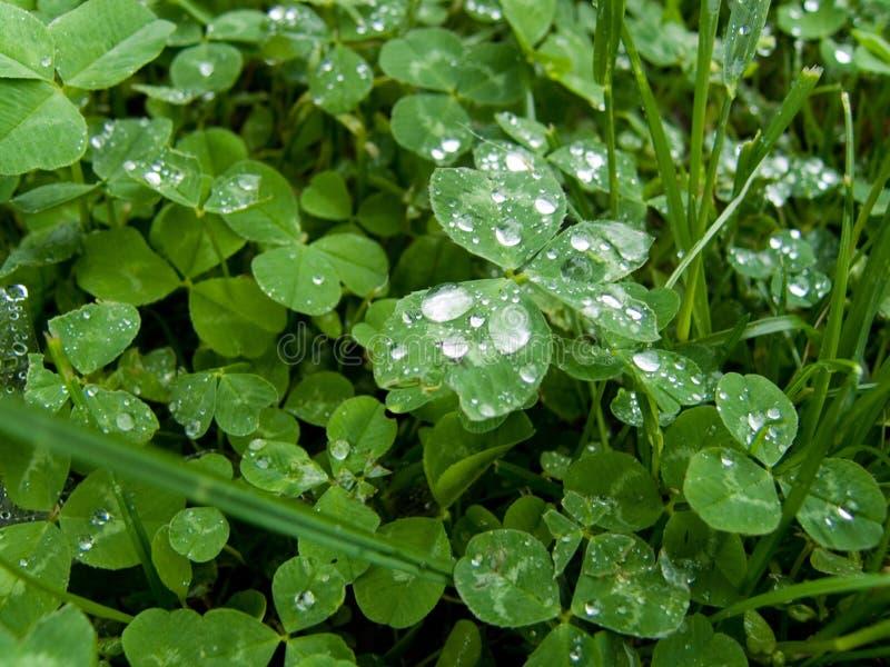 Regentropfen Auf Shamrockblättern Stockfotos