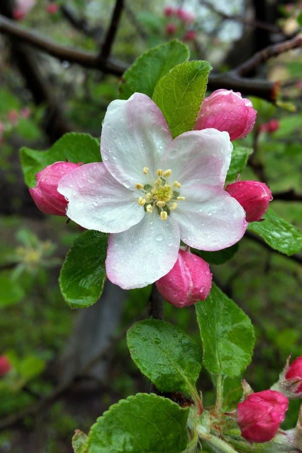 Download Regentropfen Auf Weniger Blume Stockfoto - Bild von nahaufnahme, blume: 90237626