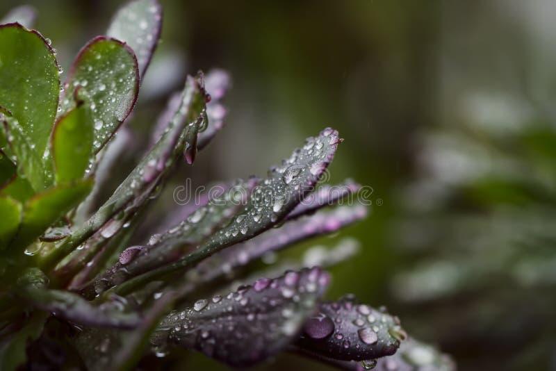 Regentropfen bedecken ein purpurrotes und grünes saftiges lizenzfreie stockfotografie